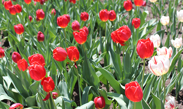 In and Around Ottawa: The Canadian Tulip Festival