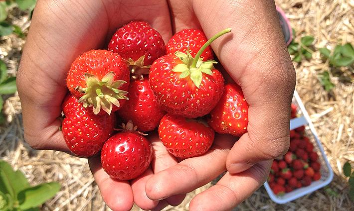 In and Around Ottawa: Strawberry Picking